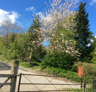 Cherry blossom outside cottage gate