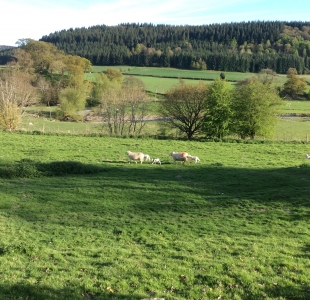 New Lambs in Spring